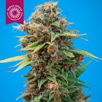 Tropical Seeds Co Smooth Smoke Regular