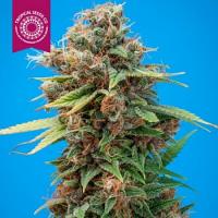 Tropical Seeds Co Smooth Smoke Regular