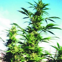 Nirvana Seeds Kaya Gold Feminized
