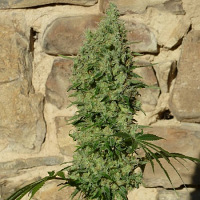 Medical Marijuana Genetics Seeds Orinoco (OR-1) Feminized