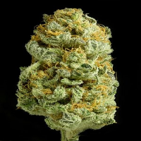 Dinafem Seeds Critical Cheese Feminised PICK N MIX