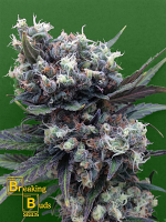Breaking Buds Seeds Malverde Feminized