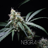 R-KIEM Seeds Negra 44 Feminized (PICK N MIX)