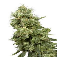 White Label Seed Company Sensi Star Regular