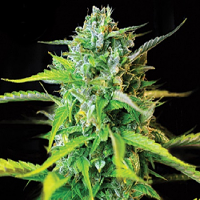 Kera Seeds Burmese Kush Feminised (PICK N MIX)