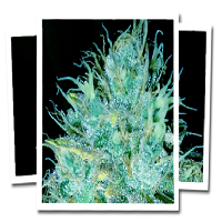 Emerald Triangle Seeds Sour Puss Feminized