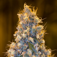 Humboldt Seed Organisation Blue Fire Feminized