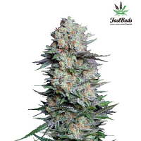 Mexican Airlines Auto – Feminized – Fast Buds