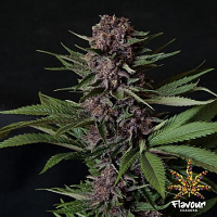 Flavour Chasers Seeds Purple Mazel Tov Feminized