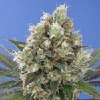 Vulkania Seeds Northern City Haze Feminized (PICK N MIX)