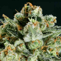 SuperCBDx Seeds Lemon Haze x SCBDx Feminized