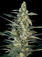 Green Joint Auto - Feminized - Big Monster Seeds