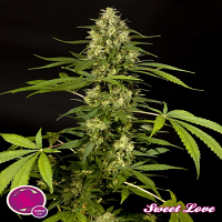 Philosopher Seeds SweetLove Feminized
