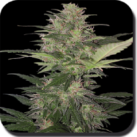 Buddha Seeds Red Dwarf Auto Regular