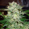 World of Seeds Legends Collection Mazar Kush Feminised
