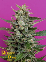 Breaking Buds Seeds Strawberry Cream Feminized