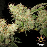 Flavour Chasers Seeds Alien Glue Feminized