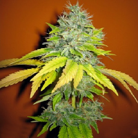 Seedsman Seeds Jack Herer Feminized