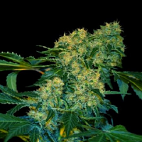 VIP Seeds Ghingis Khan Feminized