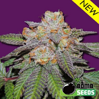 Bomb Seeds Cherry Bomb Auto Feminized