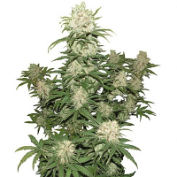 Concrete Jungle Seeds Blueberry Auto Feminized