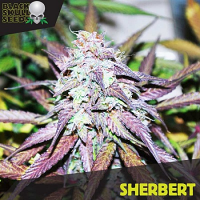 Black Skull Seeds Sherbert Feminized