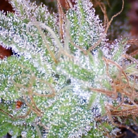 Ice – Regular – Nirvana Seeds