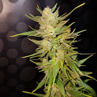 Lineage Genetics Seeds Malawi Gold Feminized