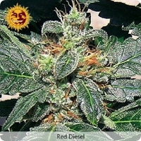 Barney's Farm Seeds Red Diesel Feminized