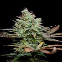 TGA Subcool Seeds Pennywise Regular