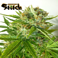 Flash Autoflowering Seeds Onyx Auto Regular