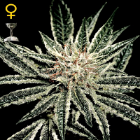Green House Seeds El Nino Feminized