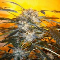 Flash Autoflowering Seeds Nirvana Sky Super Auto Feminized