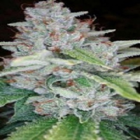 Reserva Privada Seeds Skywalker Kush Feminized