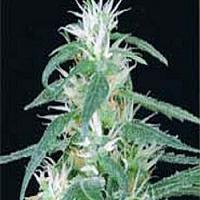 Medical Seeds Jack La Mota Feminized