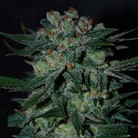 World of Seeds Diamond Line Obsession Feminized