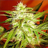 Advanced Seeds Kaya 47 Feminised PICK N MIX