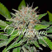 Delicious Seeds Deep Mandarin Feminized