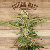 The Plant Organic Seeds Critical Mass Feminized