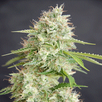 Cream of The Crop Seeds Double Cream Feminized