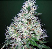 Bulk Seeds Bubble G Feminized
