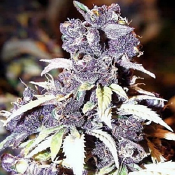 The Blue Wizard - Feminized - Sensible Seeds Premium Selection