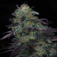 TGA Subcool Seeds Timewreck Regular