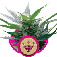 Royal Queen Seeds Special Kush #1 Feminised