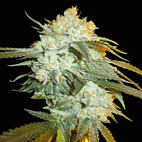 Big Head Seeds Head Stash Auto Feminized