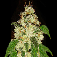 Lady Sativa Genetics Seeds KnightsBridge OG Regular