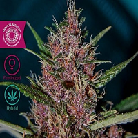 Tropical Seeds Co Afrokush Feminized