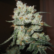 O.G. Kush - Feminized - Sensible Seeds Premium Selection