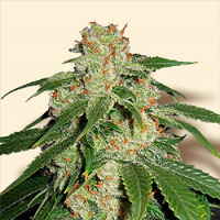 Bulk Seeds Jack Herer Feminized