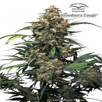 Dutch Passion Seeds Strawberry Cough Feminized